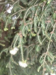 malaleuca alternifolia